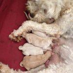 Australian Cobberdog Puppies
