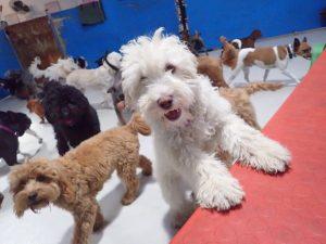 Australian Cobberdog puppy